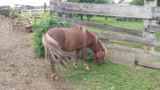 4 jähriger ponyhengst