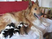 9 wunderschöne Collie-