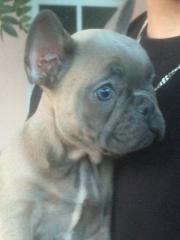 Achtung ! Französische Bulldogge