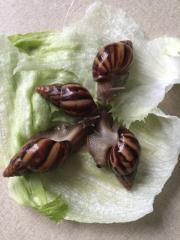Afrikanische Riesenschnecken Achatina