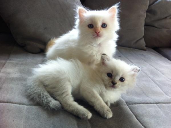 allergiker geeignet katzenbabies reinrassige neva masquarade kitten in m nchen kaufen und. Black Bedroom Furniture Sets. Home Design Ideas