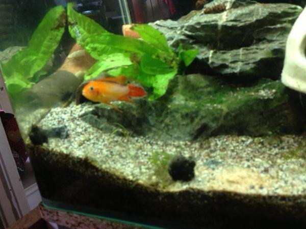 Aquarium fische zubeh r in b hl baden kaufen bei for Aquarium fische arten