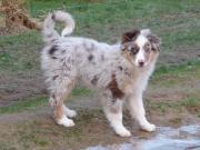 Australian Shepherd-Welpe