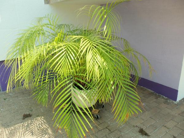 bergpalme in weingarten pflanzen kaufen und verkaufen ber private kleinanzeigen. Black Bedroom Furniture Sets. Home Design Ideas