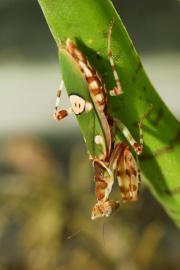 Biete Gottesanbeterinenen - Blütenmantis -