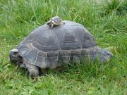 Biete Griechische Breitrandschildkröten