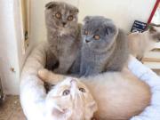 BKH / BLH Kitten