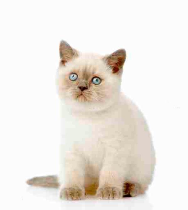 bkh britisch kurzhaar kitten point cinnamon hell chocolate in velbert katzen kaufen und. Black Bedroom Furniture Sets. Home Design Ideas
