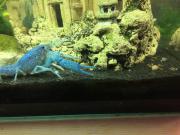 Blaue Baby Krebse