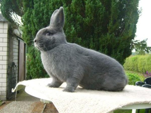 zucht kaninchen neu und gebraucht kaufen bei. Black Bedroom Furniture Sets. Home Design Ideas