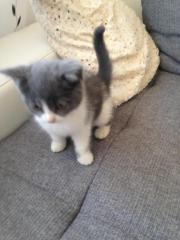 BLH / Mix Kitten
