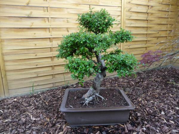 bonsai japanische ulme in bensheim pflanzen kaufen und. Black Bedroom Furniture Sets. Home Design Ideas