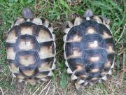 Breitrandschildkröten 3 Jahre,