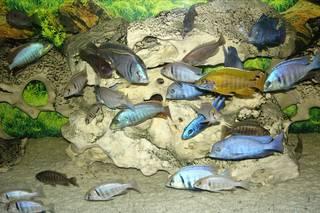Bild 4 malawi buntbarsche murr for Blaue teichfische