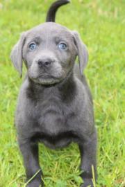 Charcoal Labrador Hündi