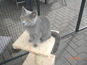 Chartreux Kartäuser Katze