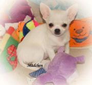 Chihuahua Hündin KH