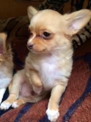 Chihuahua Rüde sucht
