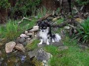 Chihuahua Welpen kurz-