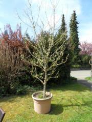 Eschenahorn Acer Negundo