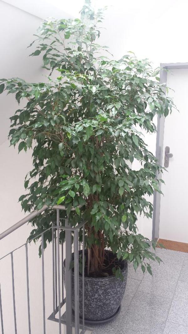 ficus benjamin 2 40 m ca 30 jahre alt mit sch nem bertopf in m nchen pflanzen kaufen und. Black Bedroom Furniture Sets. Home Design Ideas