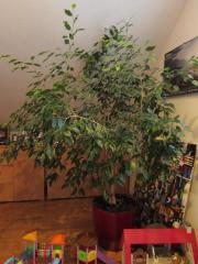 Ficus benjamini zu