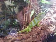 Fidschi Leguan (Brachylophus