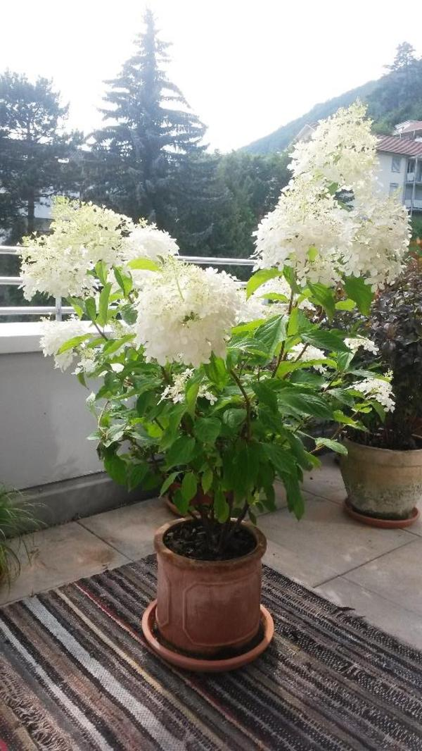 gartenpflanze mit grossen weissen bl ten in au sg. Black Bedroom Furniture Sets. Home Design Ideas