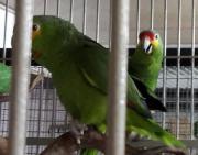 Gelbwangenamazonen Zuchtpaar
