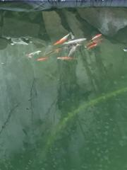 goldfische