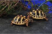 Griechische Land Schildkröten,