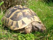 Griechische Landschildkröte NZ