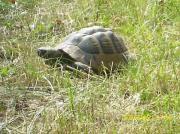 Griechische Landschildkröten,