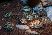 Griechische Landschildkröten (Testudo
