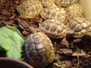 Griechische Landschildkröten, Testudo