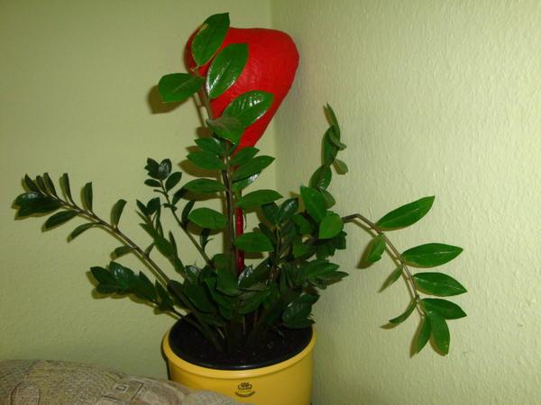 zimmerpflanzen kleinanzeigen pflanzen b ume str ucher. Black Bedroom Furniture Sets. Home Design Ideas
