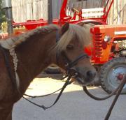 Hübsches Shetland-Pony