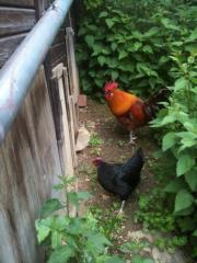 Hühner,Hahn,Henne +