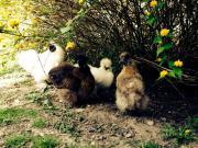 Hühner Zwergseidenhühner Seidenhühner