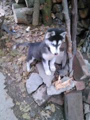 Husky suche zu