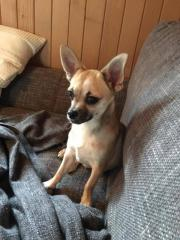Jake, junger Chihuahua