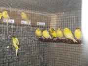 junge kanarienvögel