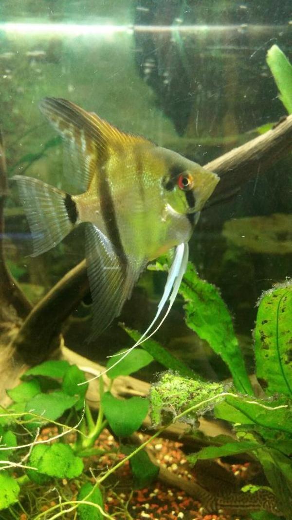 Junge wildfarben skalare fische aquaristik for Skalare zucht