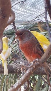 Kanarien Kanarienvögel aus
