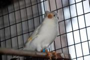 Kanarienvögel mit und
