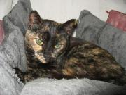 Katze Marmor Schildpatt