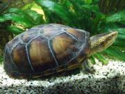 kleinbleibende Wasserschildkröte, keine