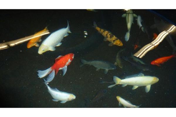 koi karpfen in elchesheim illingen fische aquaristik kaufen und verkaufen ber private. Black Bedroom Furniture Sets. Home Design Ideas