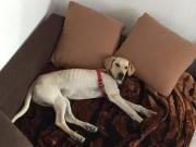Labrador Welpe/ Junghund