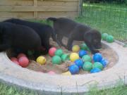 Labrador- Welpen in